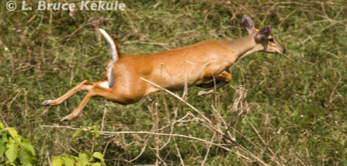 muntjac-on-the-run-in-huai-kha-khaeng_0