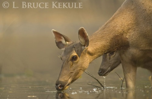 Sambar doe and yearling