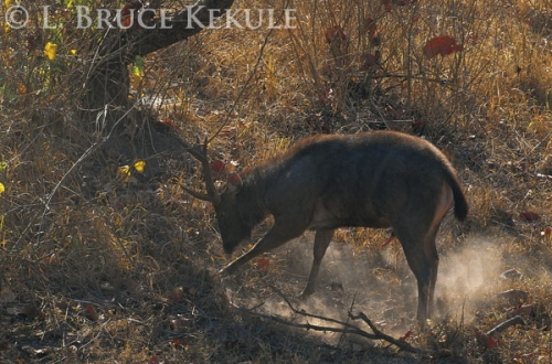 Sambar stag on the run in Huai Kha Khaeng