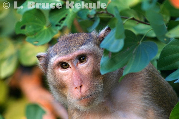Crab-eating macaque eating in Sai Yok