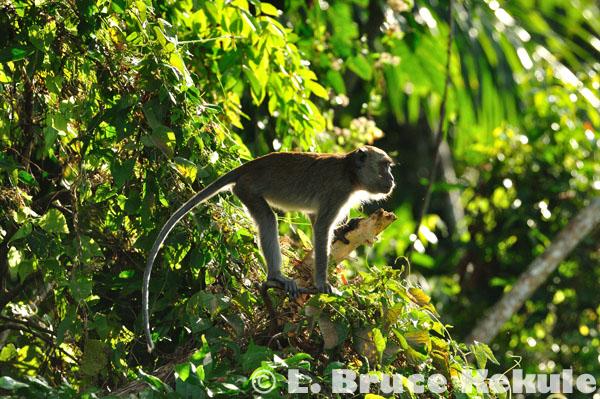 Crab-eating macaque eating in Khlong Saeng
