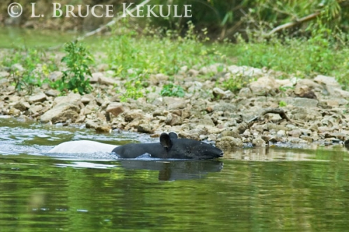Asian tapir swimming in Kaeng Krachan