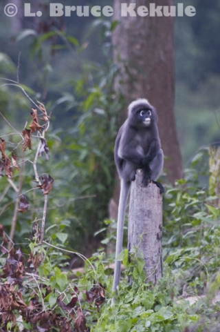 Dusky langur stump-sitting in Khlong Saeng