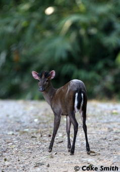 Fea's muntjac female in Kaeng Krachan