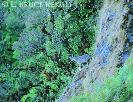Goral on cliff in Doi Inthanon
