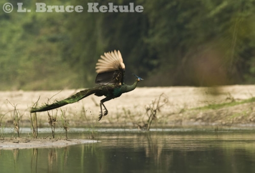 Green peafowl male flying in Huai Kha Khaeng