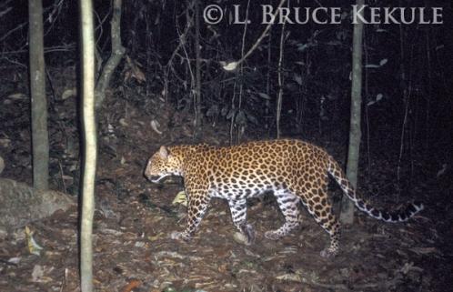 Leopard in Kaeng Krachan