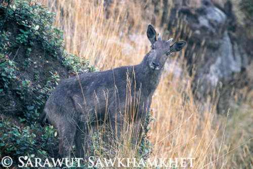 Male goral in Doi Inthanon National Park