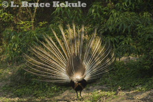 Green peafowl male display in Huai Kha Khaeng