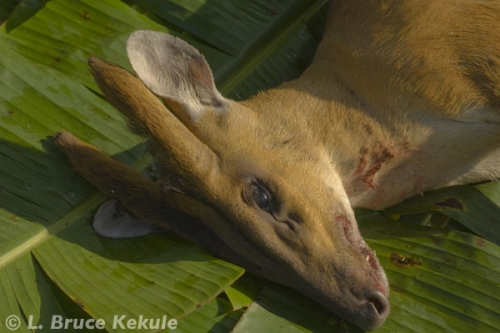 Male mauntjac dead in Sai Yok