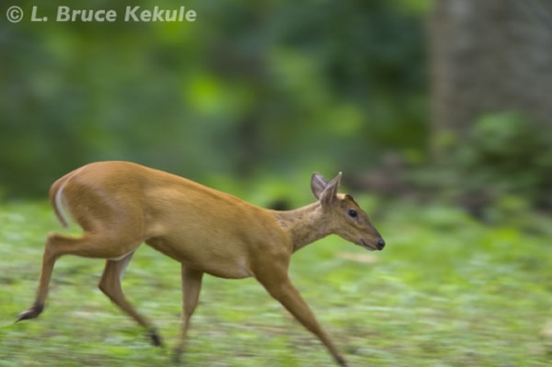 muntjac-female-on-the-run-in-thung-yai