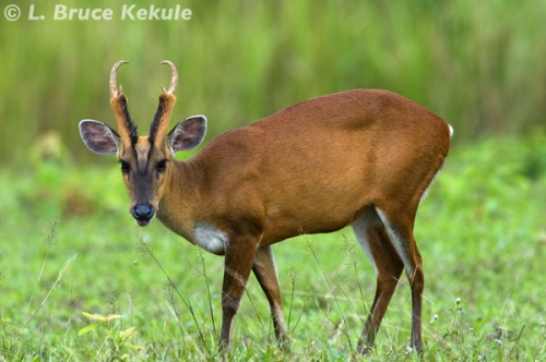Male muntjac in Khao Yai