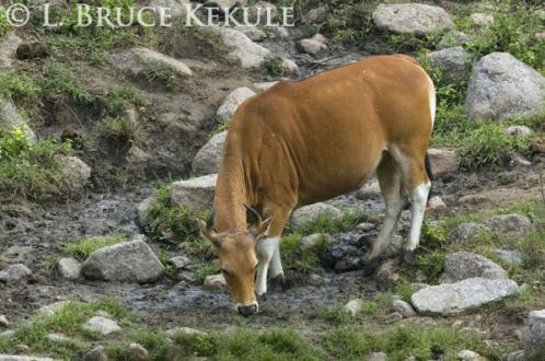 Rare white-spotted banteng cow in Huai Kha Khaeng