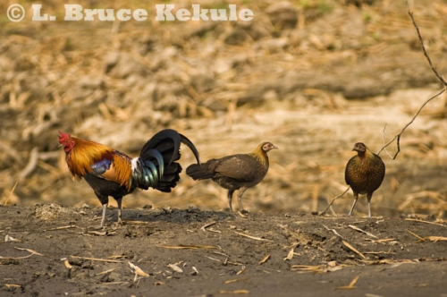 Red jungle fowl in Huai Kha Khaeng