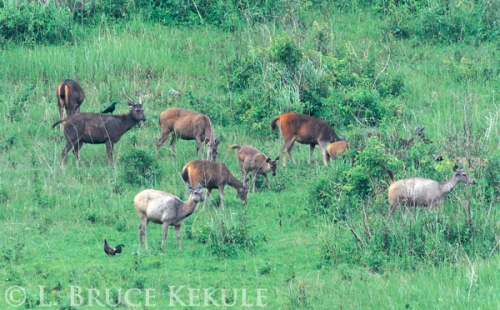 Sambar herd in Khao Yai
