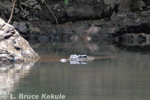 Siamese crocodile in Khaeng Krachan