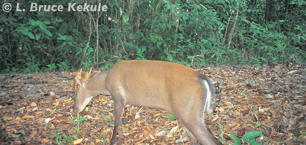 Fea's muntjac male camera trapped in Kaeng Krachan