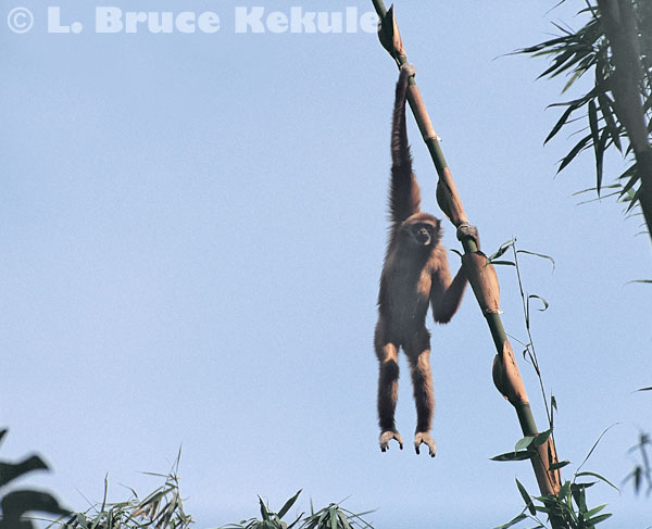 Gibbon hanging from bamboo in Kaeng Krachan
