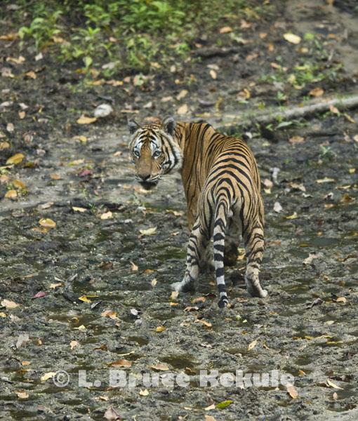 TIGRE - panthera tigris - Page 5 Indochinese-tiger