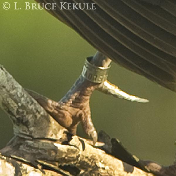Jungle fowl in Khao Ang Rue Nai WS