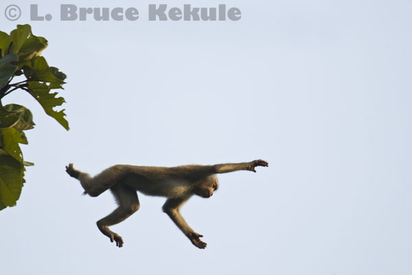 Pig-tailed macaque jumping in Khlong Nakha