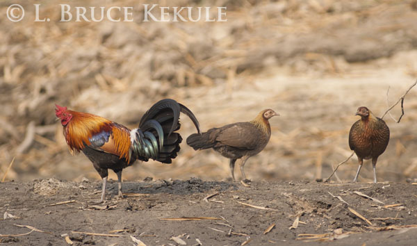 Western red jungle fowl