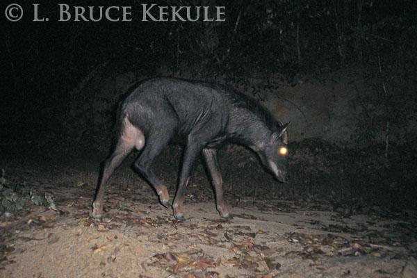 Serow in Kaeng Krachan National Park