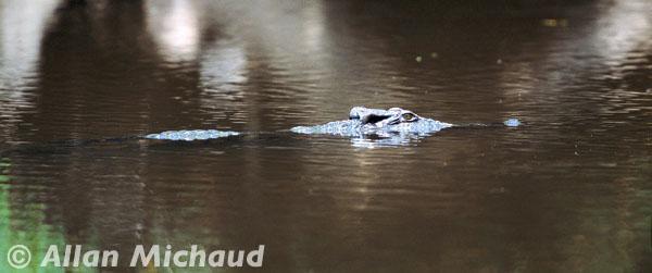Siamese crocodile in southern Cambodia