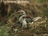African redbill hornbill in Kenya