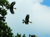 Great hornbill in Kaeng Krachan