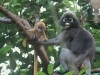 Dusky langur mother and baby
