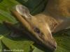Male mauntjac dead in Sai Yok