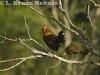 Red jungle fowl in Khao Ang Rue Nai