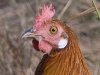 Red jungle fowl infested with ticks