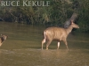 Sambar doe and fawn crossing Huai Kha Khaeng