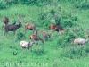 Sambar herd in Khao Yai