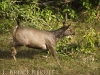 Sambar stag on the run in Huai Kha Khaeng
