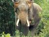Tusker elephant in Sai Yok