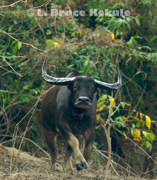 Wild water buffalo cow charging