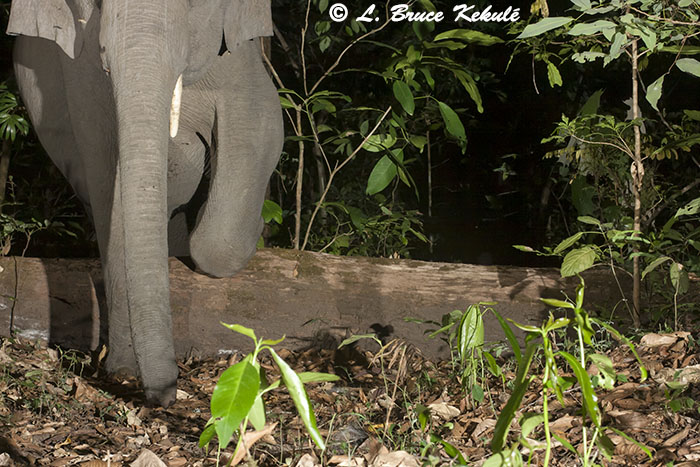 Tusker crossing log at Canon 400D