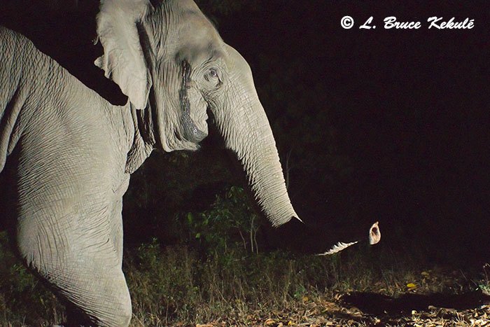 Wild male elephant in musth 1