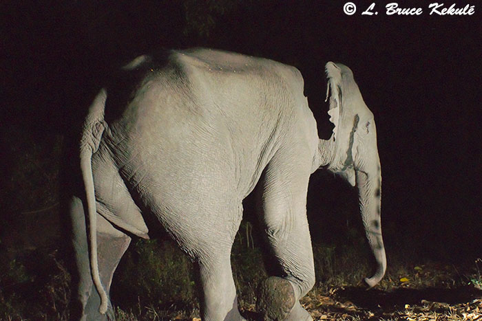Wild male elephant in musth