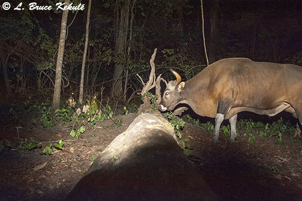 Banteng bull at the tiger log