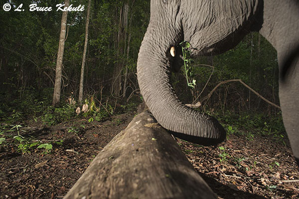 Male elephant at tiger log