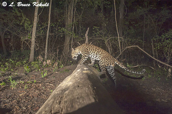 Leopard juming a log
