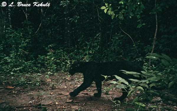 Black leopard in KK NP