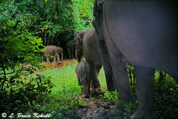 Elephant herd in Kaeng Krachan