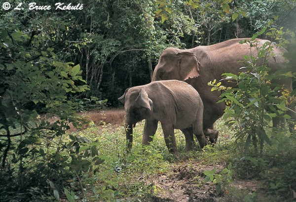 Elephant herd in Kaeng Krachan