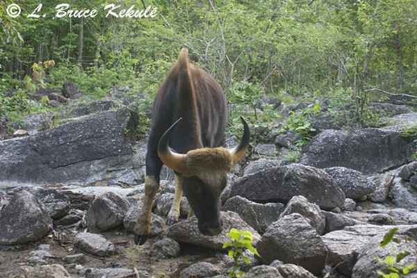 Gaur bull in Huai Kha Khaeng