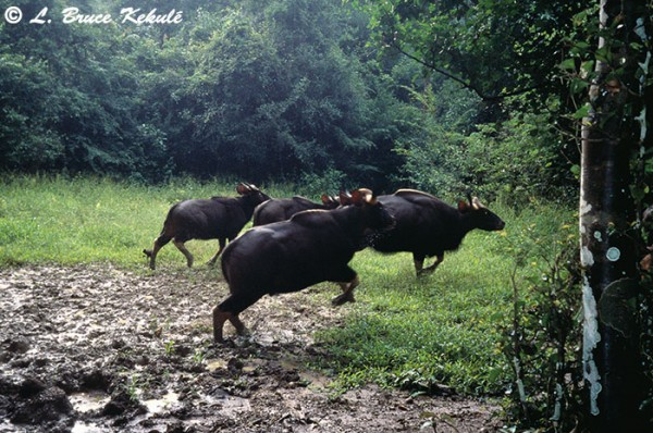 Gaur on the jump in Kaeng Krachan